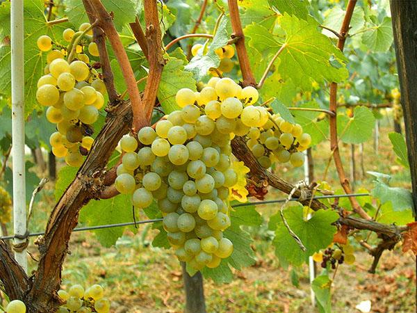 Chardonnay Moldova
