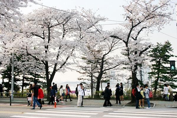 mua xuan o Seoul