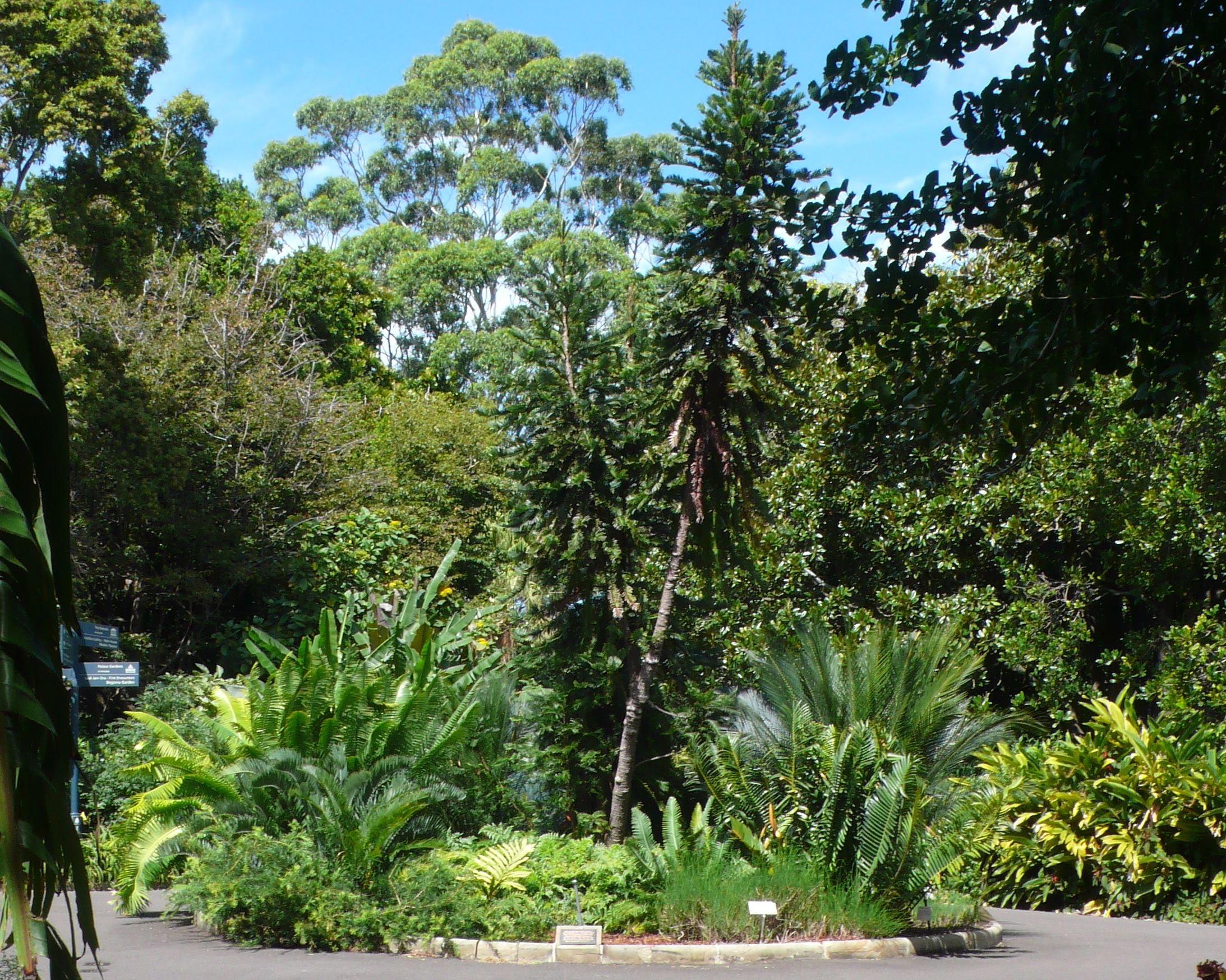 wollemi pine royal botanic gardens sydney